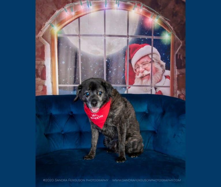 Photo of Mr. Muggles, a Cocker Spaniel, Chihuahua, and Mixed mix in Memphis, TN, USA