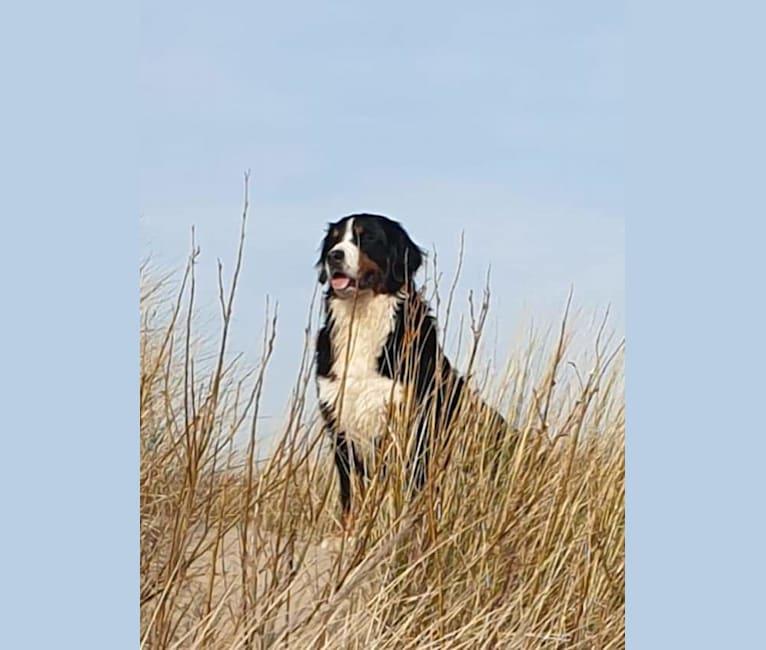 Photo of Maggie-Lynn, a Bernese Mountain Dog  in Breda, Noord-Brabant, Nederland