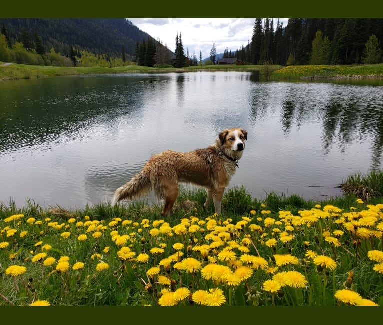 Photo of Miska, a Great Pyrenees, American Pit Bull Terrier, and German Shepherd Dog mix in Vanderhoof, British Columbia, Canada
