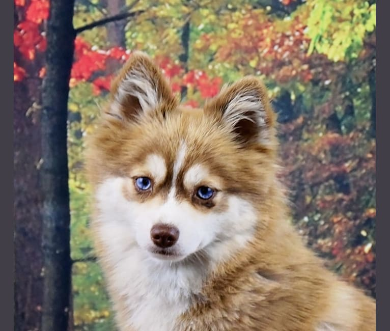 Photo of Holly, a Pomsky  in Maine Aim Ranch, King, Allerton, IA, USA