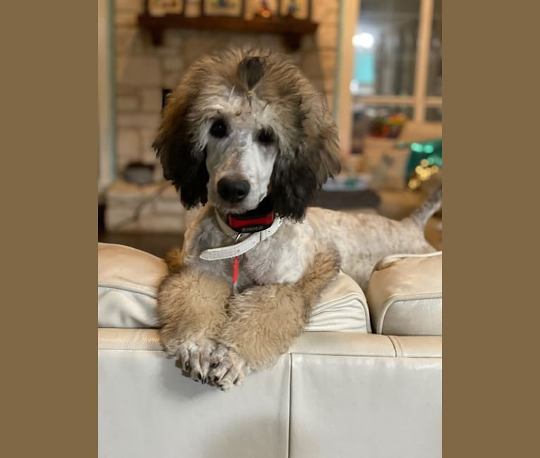 Photo of Truvy Diane, a Poodle (Standard)  in Urbana, MO, USA