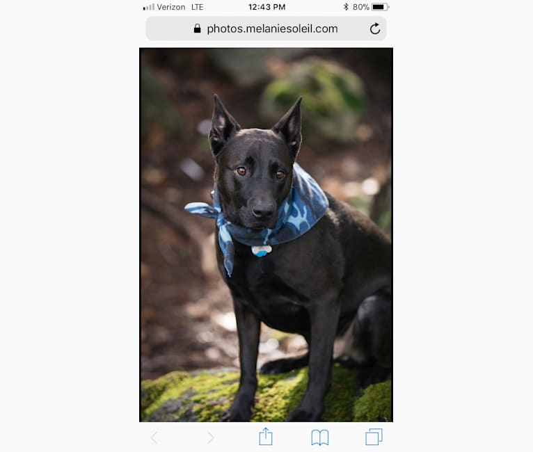 Photo of Bear, a Chesapeake Bay Retriever, Chow Chow, American Pit Bull Terrier, Rottweiler, and Labrador Retriever mix in Auburn, California, USA
