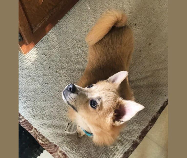 Photo of Bear, a Pomeranian, Chihuahua, and Mixed mix in Springfield, Virginia, USA