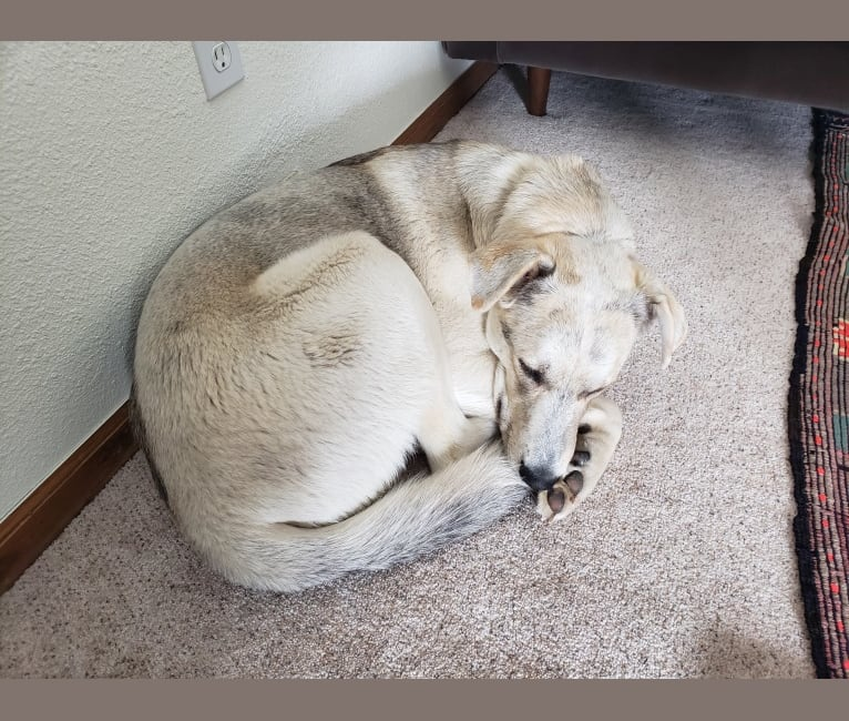 Photo of Albert Wolfie, a German Shepherd Dog, Siberian Husky, Great Pyrenees, and Mixed mix in Boulder, Colorado, USA
