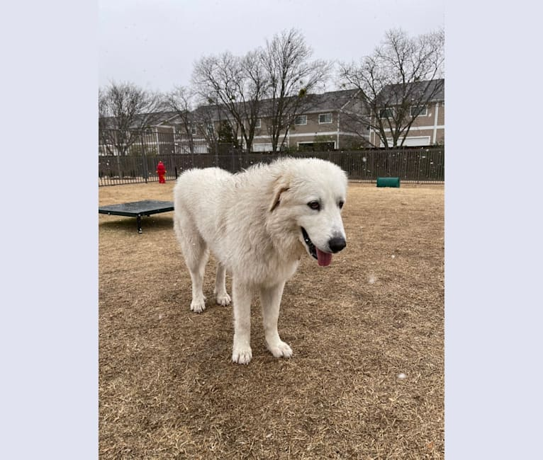 "Photo of Looney ""Chik'in Mini Bandit"" Bear, a Great Pyrenees  in Texas, USA"