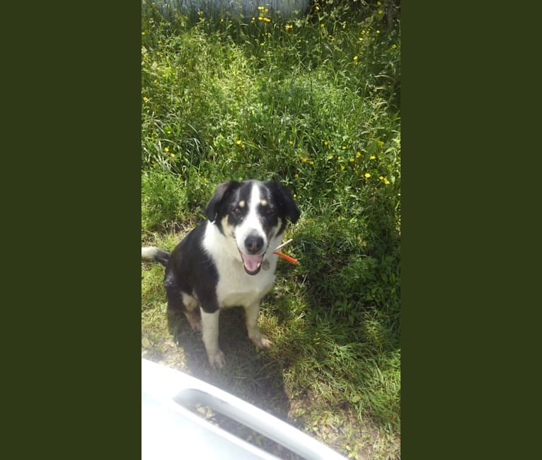 Photo of Buck, a Labrador Retriever, Border Collie, and Mixed mix in Pike, New York, USA