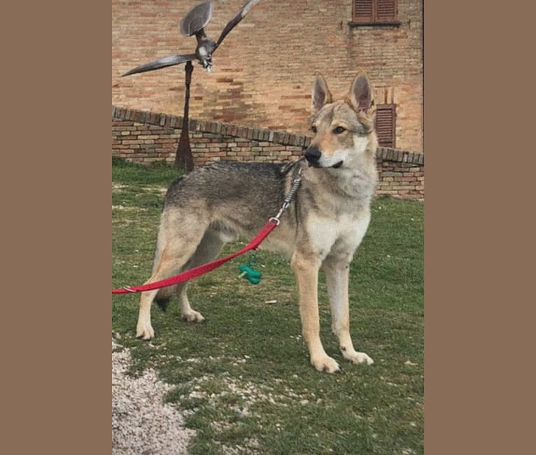 Photo of Obi, a Czechoslovakian Vlcak and German Shepherd Dog mix in Cossoine, SS, Italia