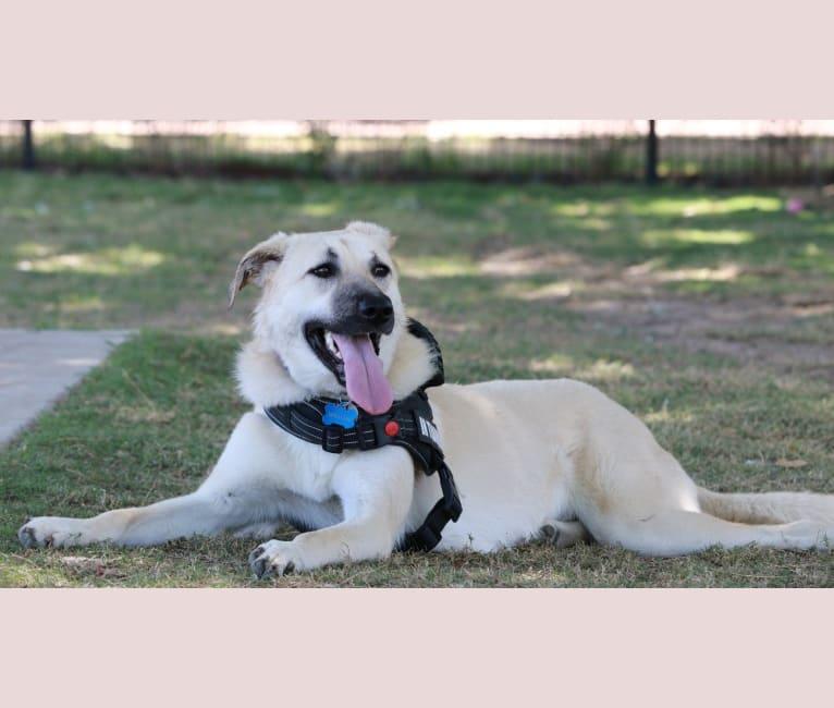 Photo of Willow Jean, an Anatolian Shepherd Dog  in Alabama, USA