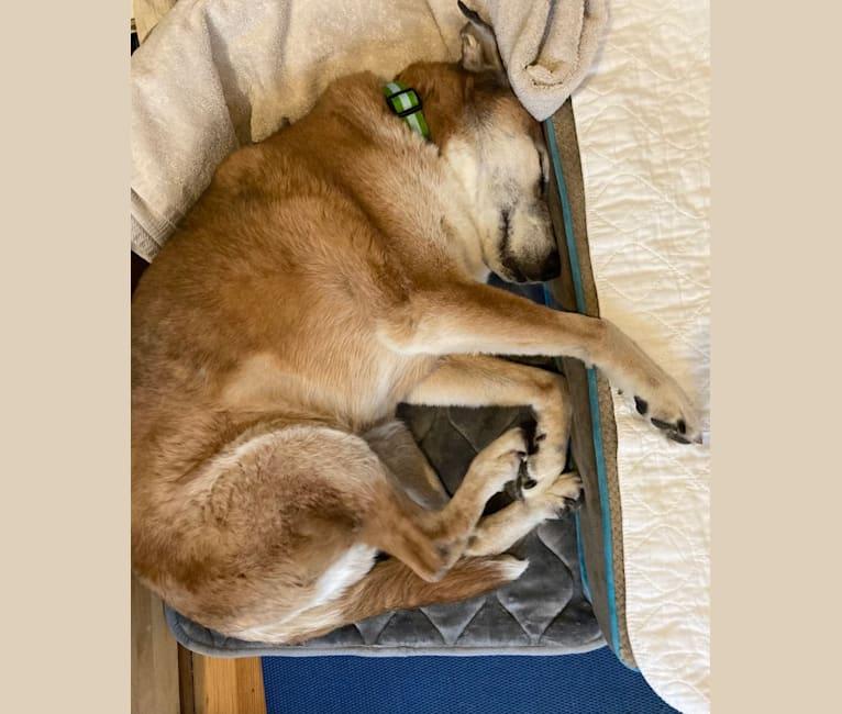 Photo of Bear, an Australian Cattle Dog, German Shepherd Dog, Boxer, American Pit Bull Terrier, Labrador Retriever, and Mixed mix in Philadelphia, Pennsylvania, USA