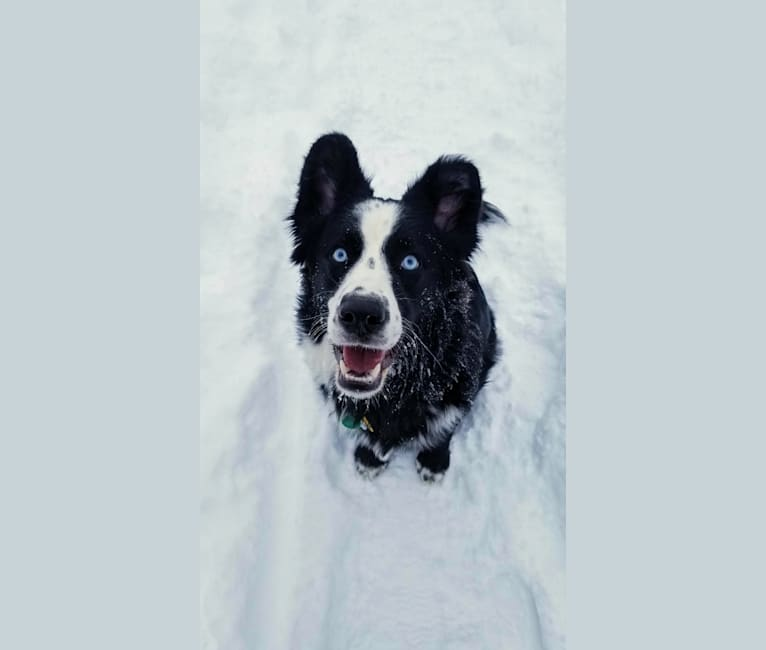 Photo of Charlie, a Labrador Retriever, Golden Retriever, Alaskan Malamute, Siberian Husky, Schipperke, and Mixed mix in St Michael, Alaska, USA