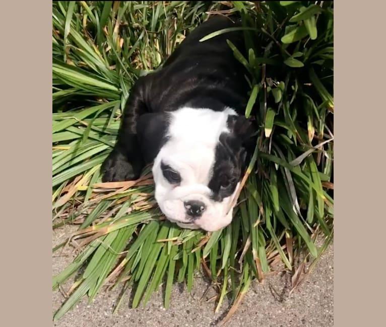 Photo of Panda Job, a Bulldog  in Ennis, Texas, USA