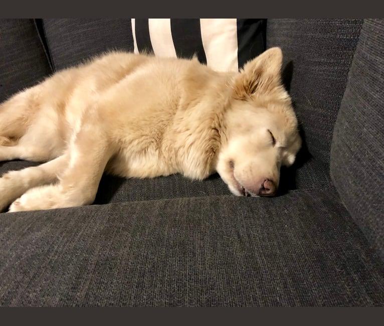 Photo of Daisy, a Chow Chow, American Pit Bull Terrier, German Shepherd Dog, American Bulldog, and Mixed mix in Phoenix, Arizona, USA