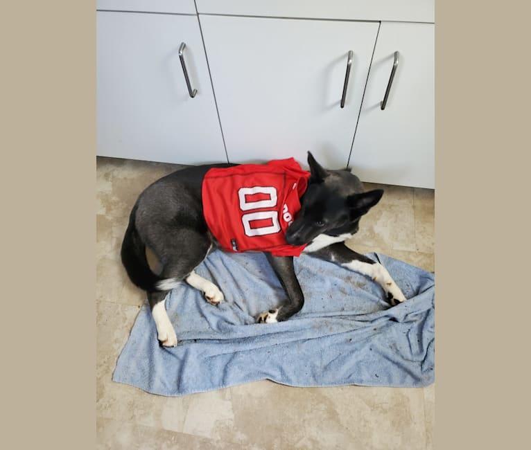 Photo of Mika, a Siberian Husky, Boxer, and German Shepherd Dog mix in Athens, Georgia, USA
