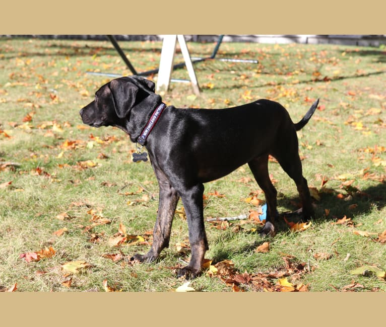 Photo of Ollie, an American Pit Bull Terrier, Catahoula Leopard Dog, American Staffordshire Terrier, and Mixed mix in Arkansas, USA
