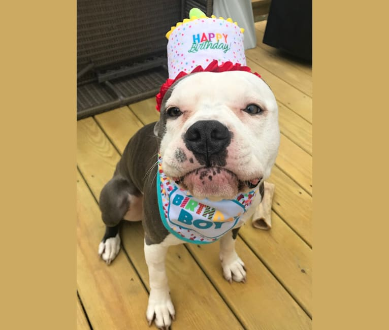 Photo of Ozzy Drake, an American Pit Bull Terrier and American Staffordshire Terrier mix in Connecticut, USA