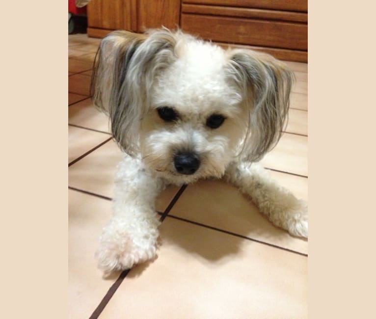Photo of Toby, a Bichon Frise and Pomeranian mix in Lihue, Hawaii, USA