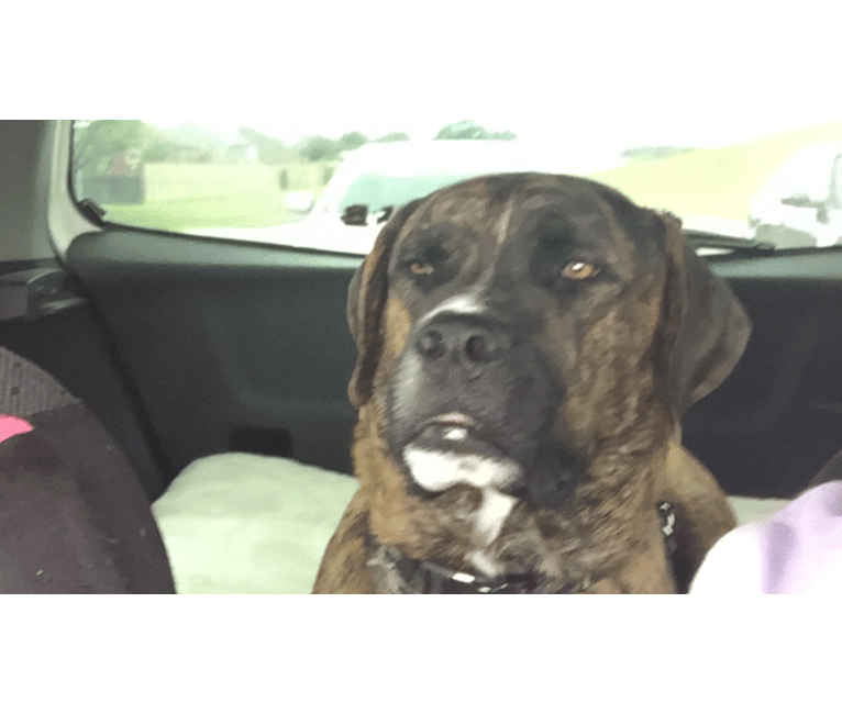 Photo of Hunter, a Saint Bernard, American Pit Bull Terrier, and Dogue de Bordeaux mix
