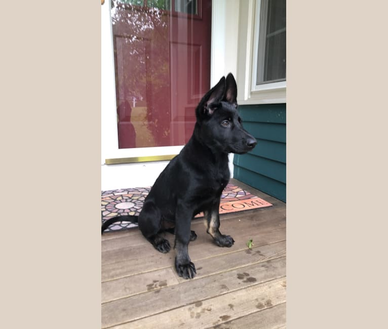Photo of Pashka, a German Shepherd Dog  in Haus Morrisson German Shepherds, Green Valley Road, Ijamsville, MD, USA