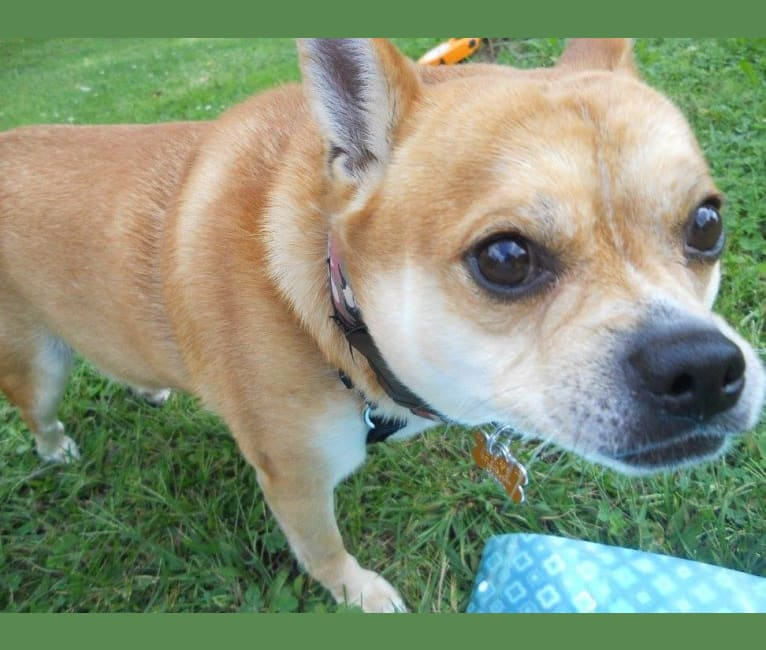 Photo of Frankie, a Chihuahua, Miniature Pinscher, and Pomeranian mix in County Dog Warden, County Home Road, Lisbon, Columbiana, OH, USA