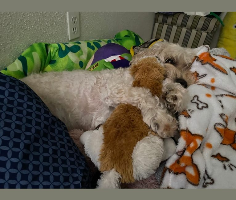 Photo of Donut, a Cockapoo (9.4% unresolved) in Clovis, New Mexico, USA