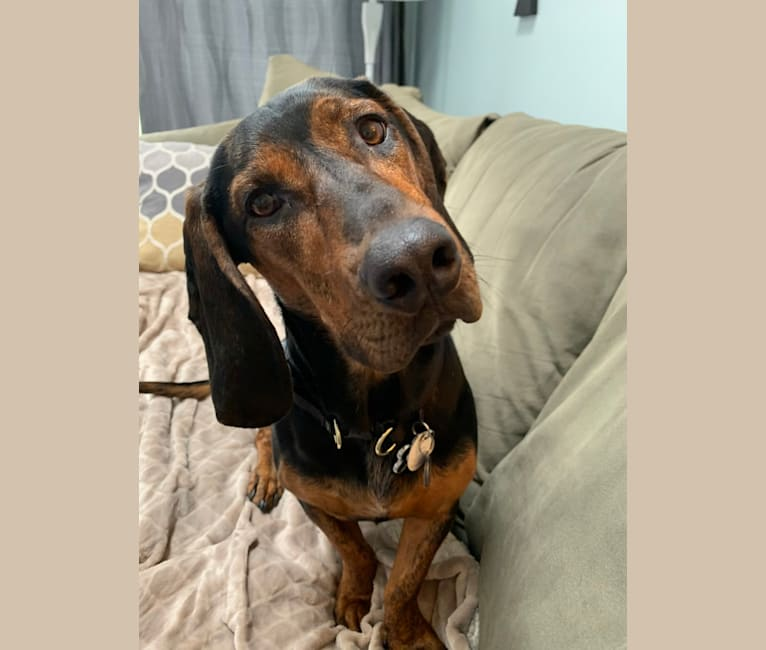 Photo of Izzie, a Basset Hound, Bluetick Coonhound, American Pit Bull Terrier, and German Shorthaired Pointer mix in Arkansas, USA