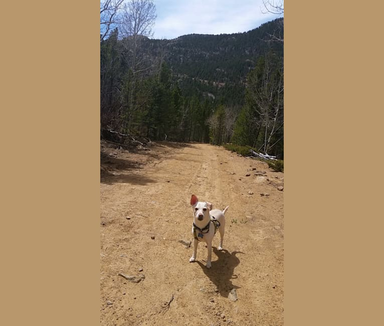 Photo of Mambo, a Chihuahua, Miniature Schnauzer, Miniature Pinscher, and Boston Terrier mix in Colorado, USA