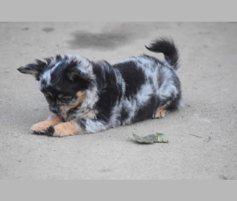 Photo of Utah, a Chihuahua  in Gardner, KS, USA