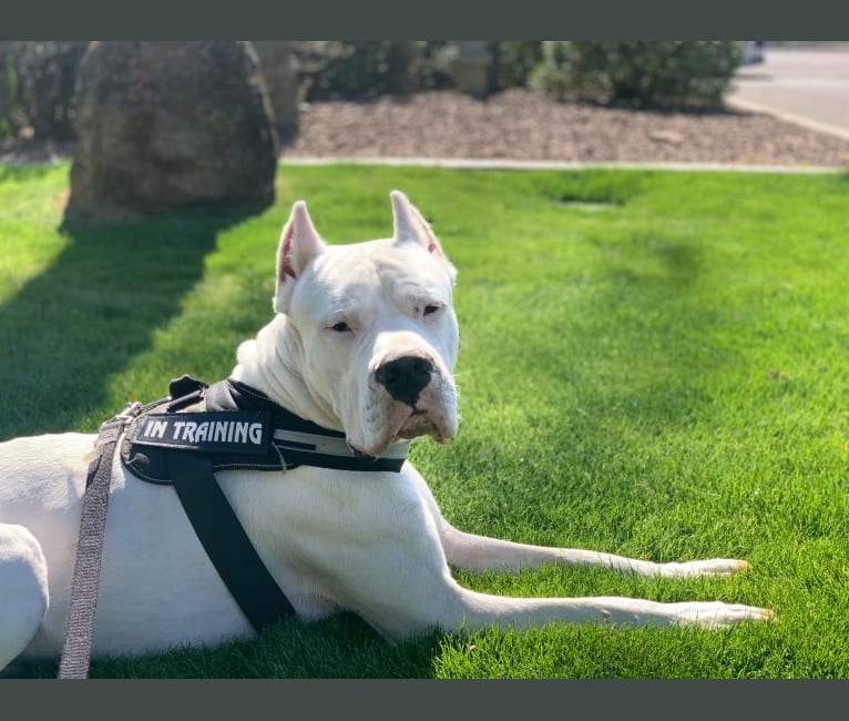 Photo of Aiden, a Dogo Argentino  in Hinton, OK, USA