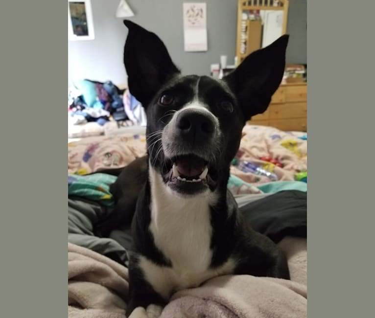 Photo of Jaci, a Rat Terrier, Collie, Boston Terrier, Australian Cattle Dog, and Mixed mix in Tennessee, USA