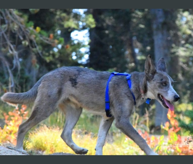 Photo of Rain, a Siberian Husky, Border Collie, and Australian Cattle Dog mix in Middleton, ID, USA