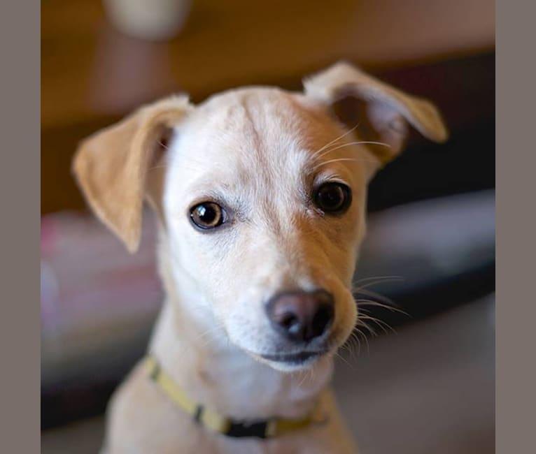Photo of Stella, a Chihuahua, Pomeranian, and Mixed mix in Fresno, California, USA