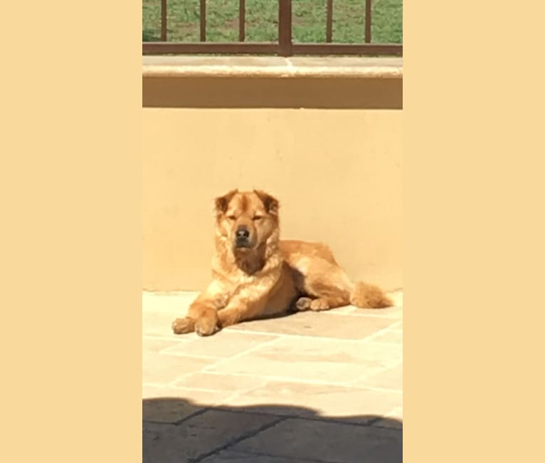 Photo of Kira, a Chinese Shar-Pei, Chow Chow, and Chihuahua mix in El Paso, Texas, USA
