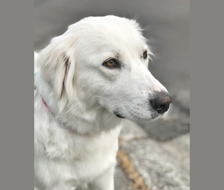 Photo of Luna, a Great Pyrenees and Anatolian Shepherd Dog mix in Texas, USA