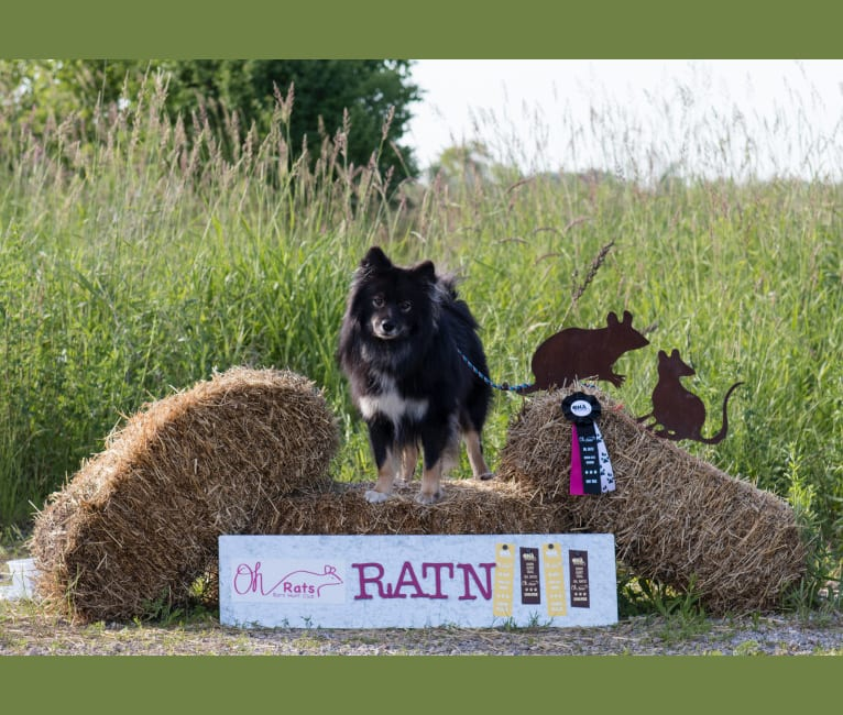 Photo of Yutori's C Me Shine, a Finnish Lapphund  in Lomira, Wisconsin, USA