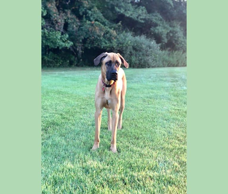 Photo of Whiskey, an Irish Wolfhound, Cane Corso, and German Shepherd Dog mix in Atlanta, Georgia, USA