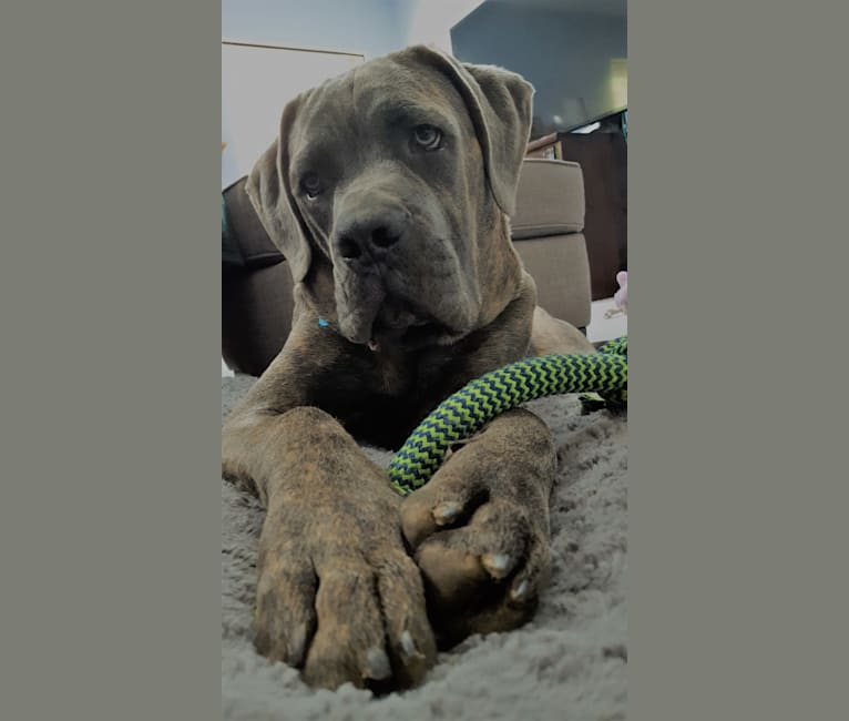 Photo of Baze Malbus, a Cane Corso and Boxer mix in Yakima, Washington, USA