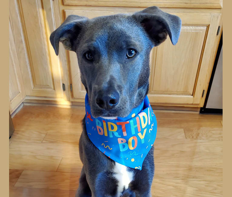 Photo of Jaxon, an American Pit Bull Terrier, Chow Chow, Siberian Husky, Labrador Retriever, Australian Cattle Dog, and Mixed mix in Mississippi, USA