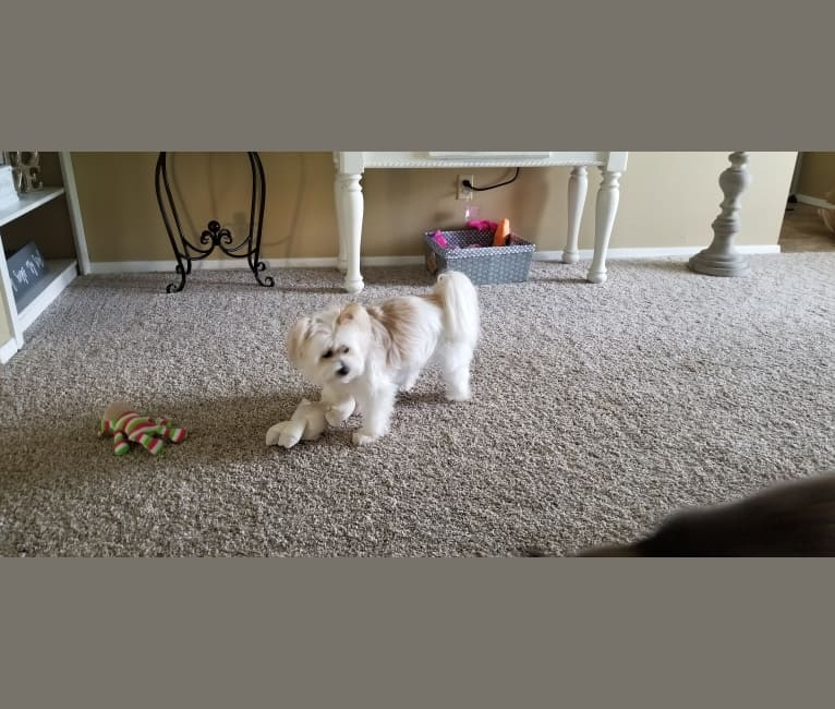 Photo of Sophie, a Pomeranian, Chihuahua, Poodle (Small), and Mixed mix in Longview, Texas, USA