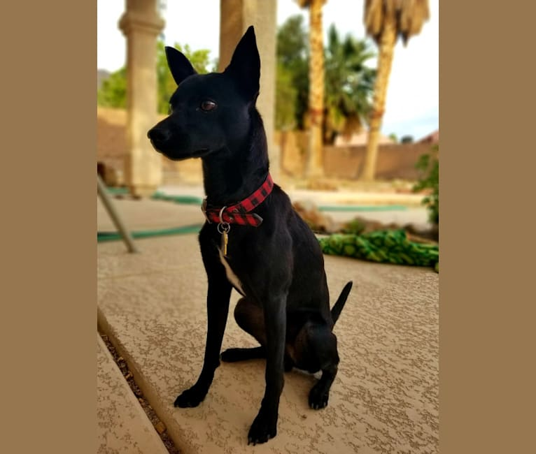 Photo of Paladin, a Chihuahua, Pomeranian, and Mixed mix in Sunrise Manor, NV, USA