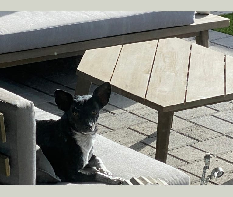 Photo of Missy, a Chihuahua, Rat Terrier, Poodle (Small), and Mixed mix in Arizona, USA