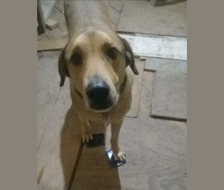 Photo of Rocky, a Doberman Pinscher and Great Pyrenees mix in Natalia, Texas, USA