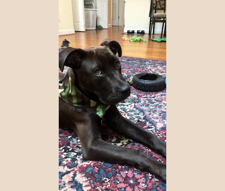 Photo of Theo, an American Pit Bull Terrier, American Staffordshire Terrier, and German Shepherd Dog mix in Wilmington, North Carolina, USA