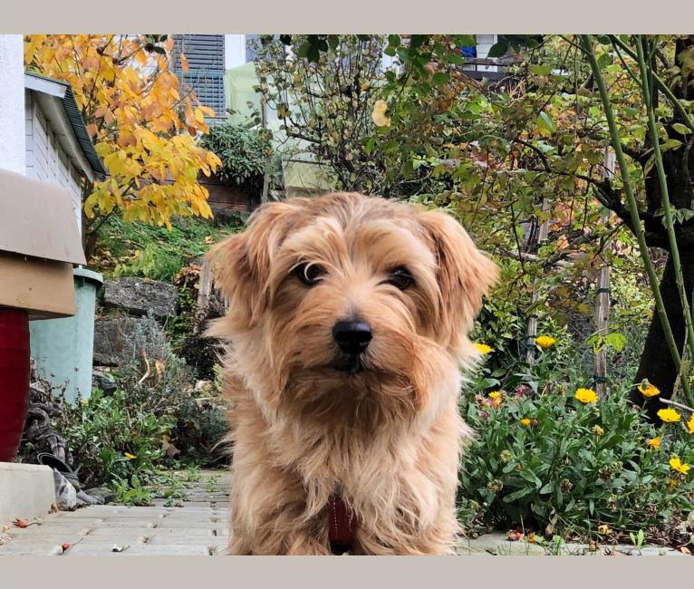 Photo of Chili, a Norfolk Terrier  in Aller, Verden (Aller), Deutschland