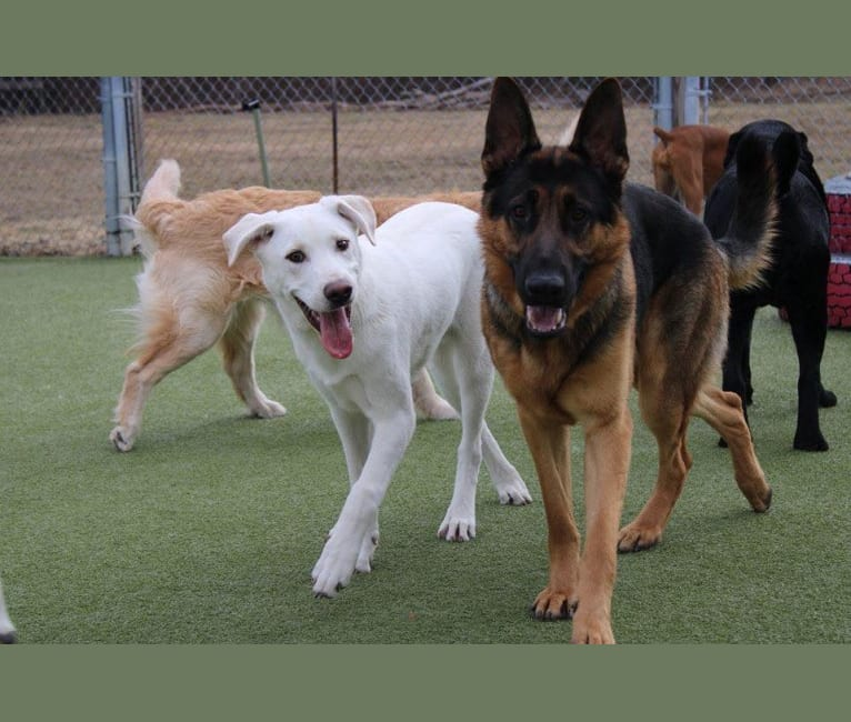 Photo of Colt, a Siberian Husky, American Bulldog, Australian Cattle Dog, and Mixed mix in Mesa, Arizona, USA