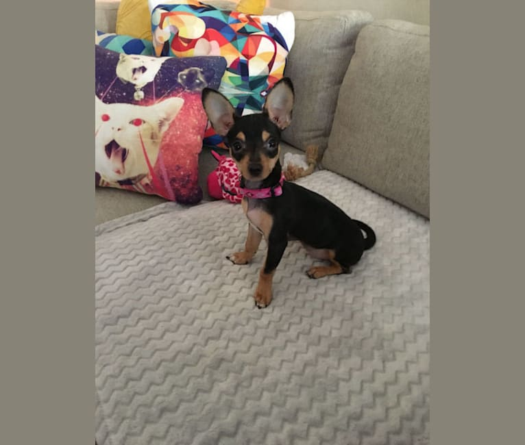 Photo of Frida, a Chihuahua, Poodle (Small), and Mixed mix in Austin, Texas, USA