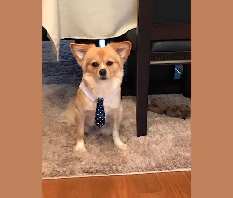 Photo of Luke, a Chihuahua, Shih Tzu, Pekingese, and Mixed mix in Wood-Ridge, New Jersey, USA