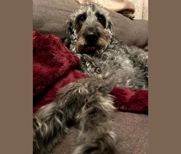 Photo of Max, a Labradoodle
