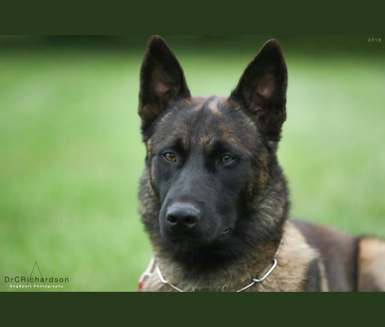 Photo of Rondo, a Belgian Shepherd  in France