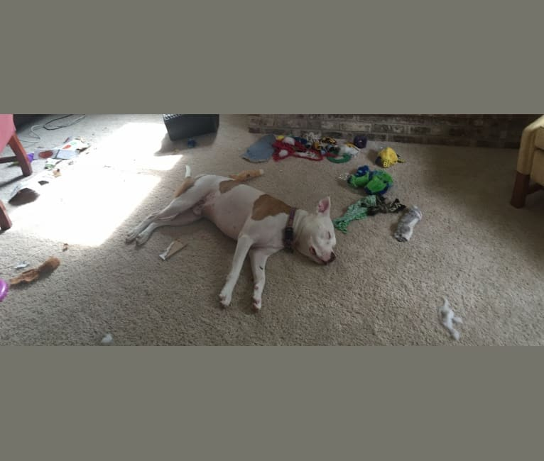 Photo of Leo, an American Pit Bull Terrier  in Crowley, Louisiana, USA