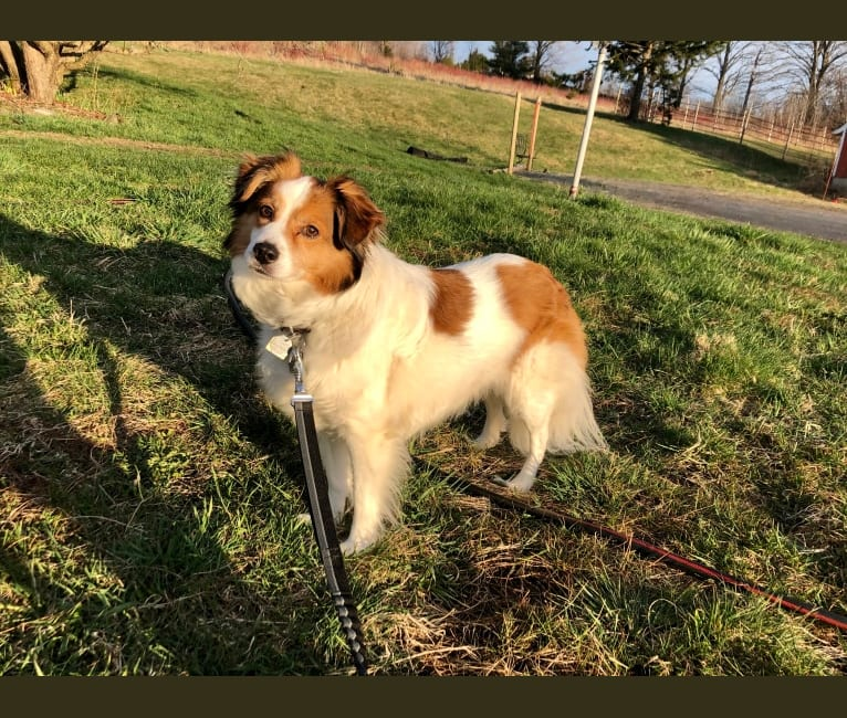 Photo of Cooper, an Australian Cattle Dog, Shih Tzu, Beagle, Akita, Shetland Sheepdog, and Mixed mix in Bethel, Vermont, USA